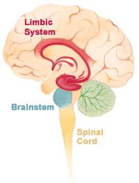 Diagram of the Human Brain's Limbic System