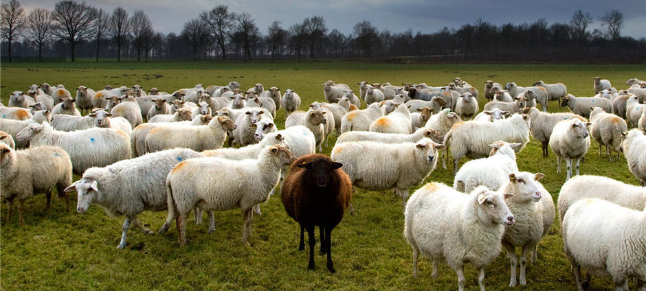 Picture of sheep flock with a black sheep.