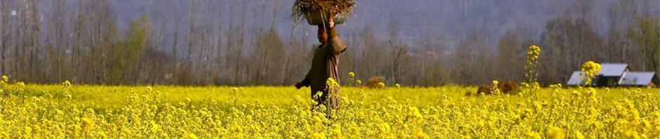 Photograph of Mustard Field in Srinagar, Kashmir