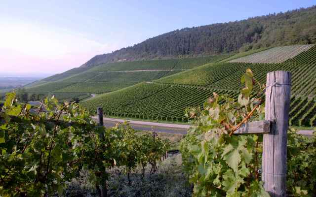 Photograph of vineyards in Germany.
