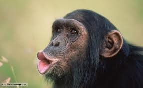 Photograph of chimpanzee face.
