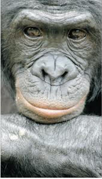 Bonobo photo image.