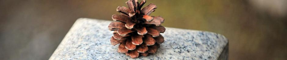 Picture of a pine cone.