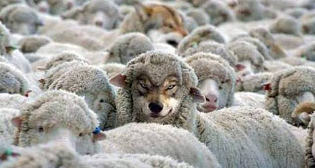 Picture of a Wolf among Sheep